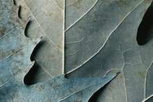 Macro Image Of Plane Tree Leaves, Natural Background