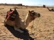 Ein Kamel ruht auf dem Wüstensand
