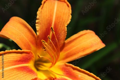 Foto op Canvas Iris Foto de lirio naranja