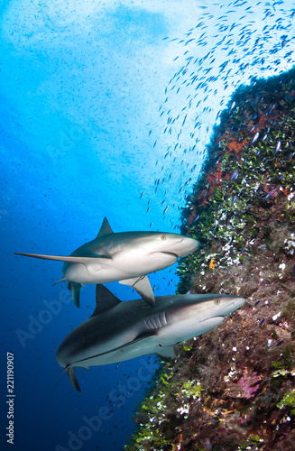 Underwater image of coral reef with sharks.