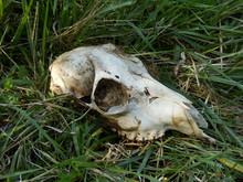 Close Up Of A Roe Deer Skull F...