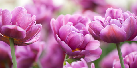 beautiful terry lilac tulips blooming in the park or in the garden