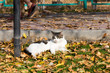 Cat in an autumn park. Cat sitting on the leaves