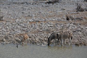 Fototapeta na wymiar zebra walking in africa around