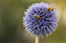 Bumble Bee And Bee On Echinops