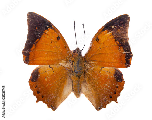 Isolated Tawny Rajah butterfly on white with clipping path Wallpaper Mural