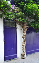 Wisteria Growing Over Puprle D...