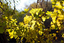 Autumn Yellow Mulberry Leaves On A Branch In The Rays Of The Sun