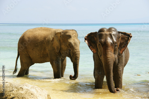 Fototapety, obrazy: elephant on the beach. an elephant is washed in the ocean