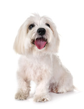 Coton De Tulear In Studio