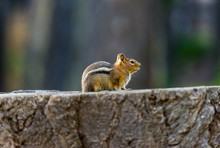 Chipmunk Crouched On A Stump