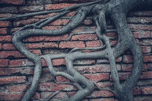 Tree Roots On A Brick Wall.