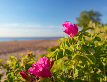 Blooming Wild Roses On The Dunes Of The Baltic Sea.