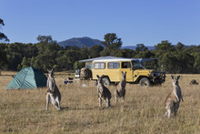 Kangaroos In Sunny Field Near Campsite