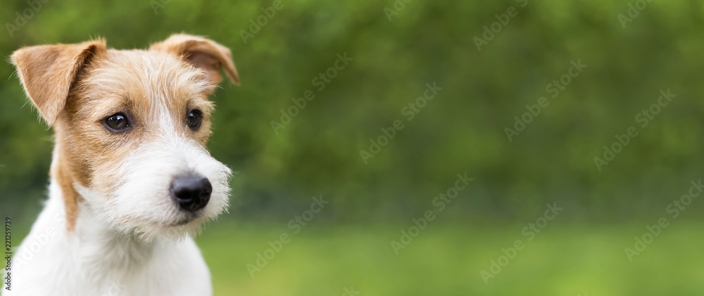 Fototapety, obrazy: Web banner of a happy cute jack russell terrier puppy pet dog