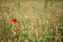 Red Poppy Wildflowers In Rural Wheat Field
