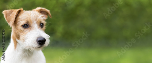 Obraz Web banner of a happy cute jack russell terrier puppy pet dog - fototapety do salonu