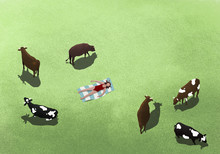 Cows Grazing And Surrounding Woman Sunbathing In Field