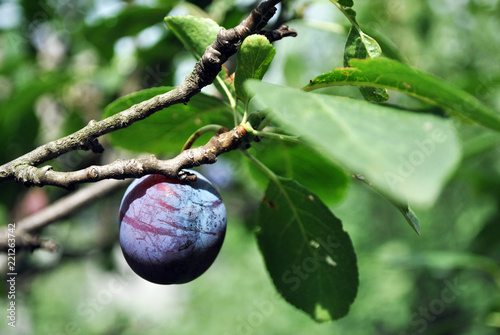 Blue ripe single plum on twig, blurry green leaves background