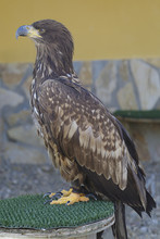 Captive White-tailed Eagle (Haliaeetus Albicilla) Perched On An Artificial Innkeeper