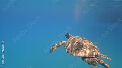Foto op Aluminium Schildpad Sea turtle swims in blue sea water aquatic animal underwater photo