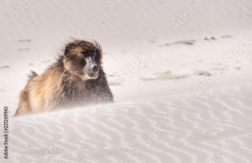 Chacma Baboon in Sandstorm