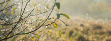Branch With Autumn Leaves And Dew Drops On A Sunny Morning, A Blurred Background. Web Banner.