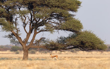 Springbok Antelope (Antidorcas Marsupialis) Under A Tree In The Kalahari