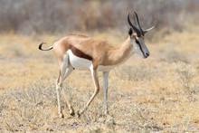 Springbok Antelope (Antidorcas...