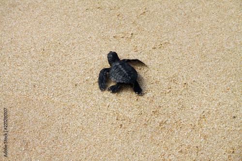 Plakat Wykluty żółw morski pozostawiający ślady w mokrym piasku na drodze do oceanu