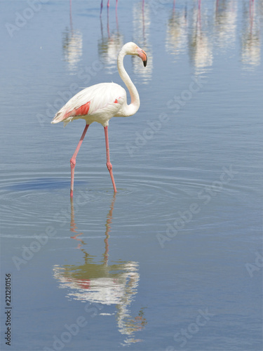 Flamingo (Phoenicopterus ruber) walking in water with big reflection seen from profile, in the Camargue is a natural region located south of Arles, France, between the Mediterranean Sea