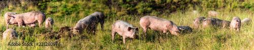 Schweine auf der Alm, Panorama
