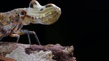 Lantern Bug (Fulgora Laternari...
