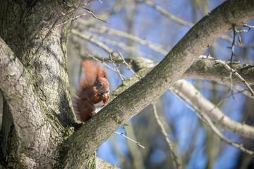 Rotes Eichhörnchen mit Winterfell frisst Nuss auf Baum Ast