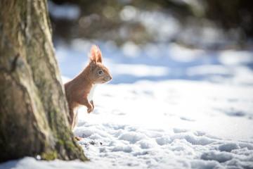 Neugieriges rotes, Eurasisches Eichhörnchen mit Winterfell im Schnee am Baumstamm