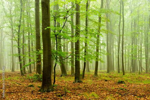 Papiers peints Foret brouillard Foggy Beech Tree Forest