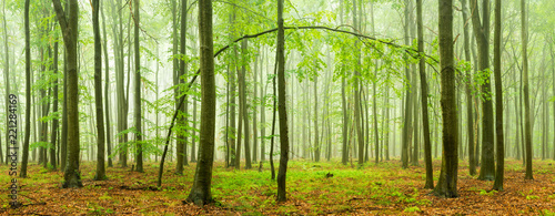 Beech Forest Panorama with rain and fog
