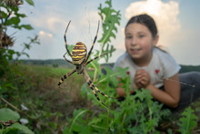 Young Girl Looking At A Huge Argiope Spider.
