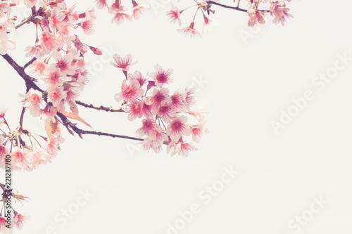 Soft focus Cherry Blossom or Sakura flower on nature background Canvas Print