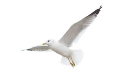 Seagull Inhabiting The Coast O...