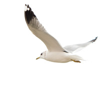 Different Types Of Gulls. A Se...