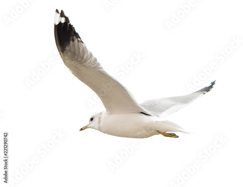 Different types of gulls. A series of photos. Isolated Fototapeta