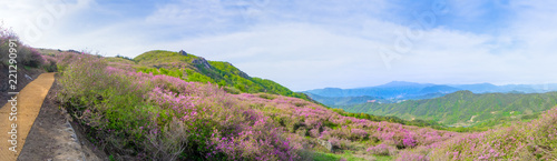Keuken foto achterwand Azalea Panorama of Hwangmaesan Country Park with pink royal azalea or cheoljjuk in Korea language bloom around the hillside in South Korea