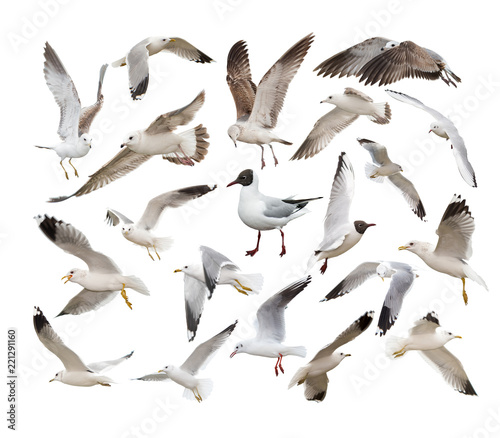 A set of different seagull in different poses. Isolated on white.