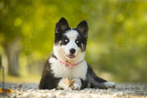Fototapeta Puppy Yakutian Laika obraz