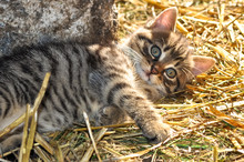 Little Grey Kitten Lying On The Hay In The Sun, Looking At The Camera,  At The Countryside