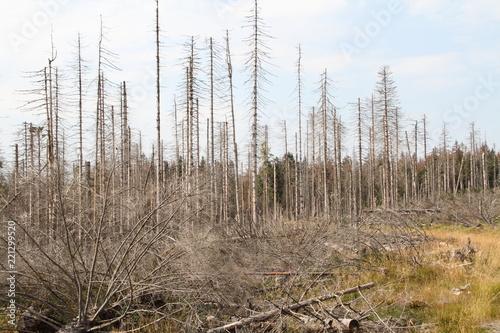 Valokuva abgestorbener Tannewald im Harz 7