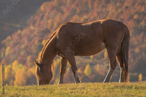 Fototapety, obrazy: Horses in the autumn mountains