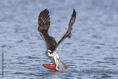 Valokuva  Osprey catches kokanee salmon.