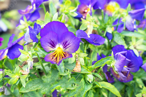 Deurstickers Pansies Flowers Viola tricolor Pansy on a natural background
